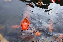 ATTENTION! ALL THE FAQS YOU NEED ABOUT KOI FISH PONDS
