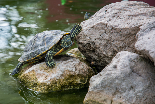 Create a Happy Turtle Habitat for Your Aquatic Turtle
