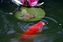Maintain your Fish Pond Without Draining