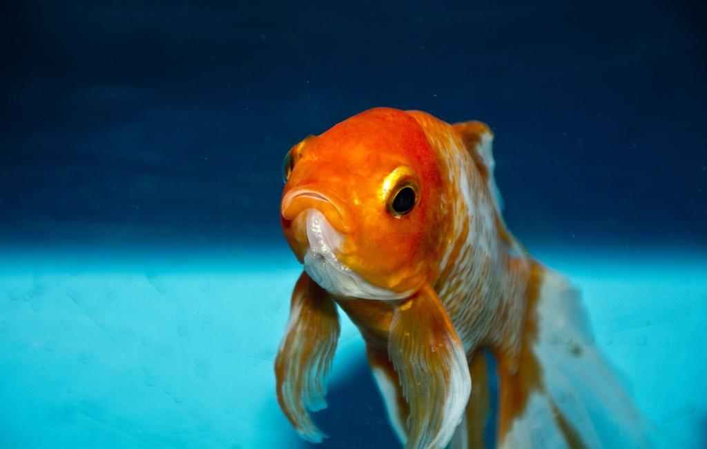 Maintaining A Cold Water Aquarium