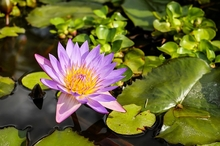 Maintaining Your Garden Pond in the Summer Heat