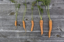 Winter Vegetables to Grow in your Garden this Season & Harvest Tips